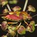 Is this a Carpocoris purpureipennis?