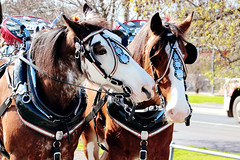 IMG_7142 (Click. Boom.) Tags: horse horses drafthorses clydesdales carton beer brewery horseandcart driving