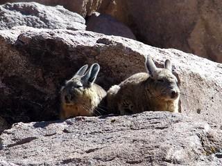 Région d'Arica, Parc Lauca, Viscaches