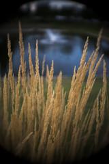 Grass and Fountain (Sean Anderson Media) Tags: cmount retrolens vintagelens cmounttosonyemount lensadapter grass fountain f19 shallowdof depthoffield nature pond sonya7rii fotodiox 26mm apsccropmode bauschlomb26mmf19 bauschlomb 16mmmoviecameralens blueandyellow vignette cinemalens moviecameralens cmountlens prairiegrass summer apsc cropmode super35