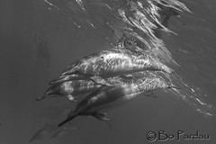 Reflections on dolphins (bodiver) Tags: hawaii kailua kona wideangle ambientlight snorkeling freediving dolphins naia tokina1017mm reflection