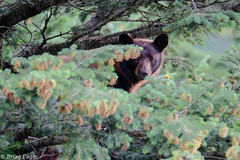 black bear in tree-2016-08-10 18.32.52 (brianeagar) Tags: bear blackbear canada watertonpark alberta wildlife nature animal fuji xpro2 fujixpro2 xf100400 100400 fuji100400 fujixf100400 tree pine forest insitu asfound cinamon green brown black tan