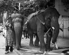 Dhaka, 2016. (rahat_kabeer) Tags: dhaka 2016 bangladesh dhanmondi street elephant selfie woman curl cellphone happy afternoon canon eos canon6d 50mm bnw eating bananatree