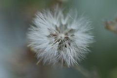 IMG_3523 (xaly87x) Tags: macro macroworld plant white whiteflower flower details nature garden taraxacum