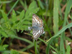 Common Checkered-Skipper (Pyrgus communis) (Nature In a Snap) Tags: crosswicks creek greenway province line road access plumstead township 2016 nature wildlife common checkeredskipper pyrgus communis butterfly butterflying butterflier lepidoptera winged nj new jersey