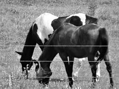 Amish Buggy Horses (Lana Pahl / Country Star Images) Tags: amishcountry ohioamish horses horsephotography horsesrule blackandwhiteohio blackwhiteandgrey