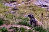 Keeping Watch (prothja1) Tags: ifttt 500px schweiz switzerland suisse swiss mountains svizzera grass animal wildlife murmeltiere marmots groundhog