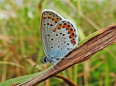 Reverdin's Blue (Plebejus argyrognomon) (male) (ermenegildore) Tags: macro insetti insects insetto farfalle farfalla butterflies butterfly nature natura