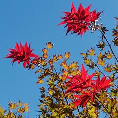 Acer palmatum 'Purple Ghost' (V@n) Tags: acer palmatum purpleghost aceraceae japanesemaple maple red leaves foliage