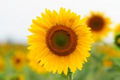 Sunflower by Marcel Sigg, on Flickr