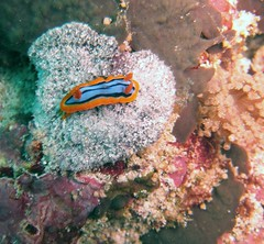 Nudibranch (Chromodoris annae), Nusa Penida (Niall Corbet) Tags: bali coral indonesia dive scuba diving nudibranch reef lembongan nusapenida chromodorisannae