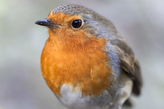 Robin portrait (EXPLORED) (S R W) Tags: wild wildlife robinredbreast srw wildbird robinportrait englishrobin