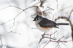Tufted Titmouse (Philipp Hullmann) Tags: schnee winter snow newyork bird centralpark manhattan vogel tuftedtitmouse theramble indianermeise