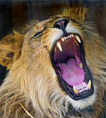 Yawning Louis II (Tambako the Jaguar) Tags: yawning lying openmouth teeth mane male young portrait face tongue lion big