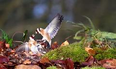 Combat de Chardonnerets lgants - European Goldfinch fight (squallidon) Tags: birds fight goldfinch 7d oiseaux bataille europeangoldfinch carduelis chardonneret chardonneretlgant