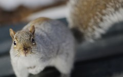 5DK_5156 (HOWLD) Tags: winter snow canon squirrel centralpark howd 135mmf2 5dmiii howardlaudesign