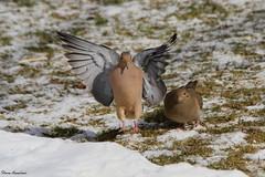 Mourning Doves (Diane Marshman) Tags: winter white snow black bird flying mourning dove gray flight feathers tan landing spots diane marshman in