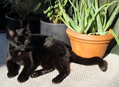 It's My Sunspot (knightbefore_99) Tags: vancouver eastvan bc canada cat chat gato black noir negro sunny sunspot warm sun relax awesome cool