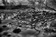 Flood Victim (soundslogical) Tags: tree water blackwhite flood sony victim a77 utatafeature sony35mm