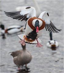 Looking for landing space (Mister Oy) Tags: bird nature duck movement nikon action wildlife flight waterfowl takeoff wwt davegreen shelduck nikon70300mmvr nikond700 martinmerewwt oyphotos