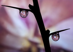 Silouette Drops (@DaveWood) Tags: wood flower macro nature water floral up closeup dave droplets drops waterdrop close drop fluid refraction droplet waterdrops davewood