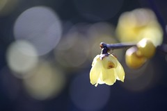 Good Morning! (joka2000 (Urasa/Tokyo)) Tags: light flower macro yellow ball bokeh wintersweet