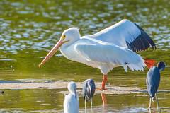 Pelican Aerobics (Bill Varney) Tags: white bird water canon florida wildlife pelican foul 600mm 1dx dingdarlingnwr billvarney
