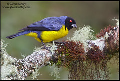 Hooded Mountain-Tanager (Buthraupis montana) (Glenn Bartley - www.glennbartley.com) Tags: bird southamerica birds animal animals photography ecuador wildlife aves birdwatching animalia avian colorimage colourimage glennbartley hoodedmountaintanagerbuthraupismontana