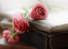 . (..Ania.) Tags: pink flowers books ranunculus oldbooks 113pictures102pink