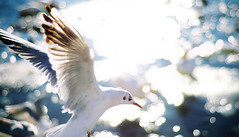 In Flight (Henrik Sundholm.) Tags: sun bird eye animal speed fly wings dof sweden stockholm bokeh seagull gull profile flight beak feathers sverige strmmen blasieholmen laridae