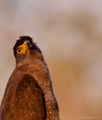 A portrait of Crested Serpent Eagle (mechstar) Tags: portrait birds nikon eagle sigma prey serpent crested gupta sandip cheela spilornis thewonderfulworldofbirds