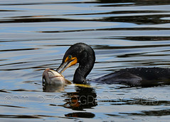 Catch of the Day (BluAlien) Tags: fish bird nature nikon action eating wildlife catfish cormorant 28 vr d800 70200mm doublecrestedcormorant vrii