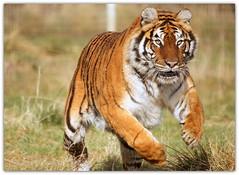 pounce (felixtree) Tags: cats animal cat zoo tiger bigcat bigcats bengaltiger hamerton felixtree