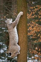 climbing up a tree (Cloudtail the Snow Leopard) Tags: wildpark pforzheim tier animal säugetier mammal luchs lynx nordluchs eurasischer cat katze winter schnee snow cloudtailthesnowleopard