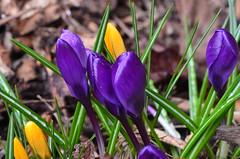 Krokusse (deta k) Tags: flowers macro berlin germany deutschland flora natur pflanzen blumen frhling blten krokusse sooc nikond5100