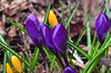 Krokusse (deta k) Tags: flowers macro berlin germany deutschland flora natur pflanzen blumen frühling blüten krokusse sooc nikond5100