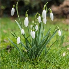 Like Snowflakes (*ian*) Tags: flower green nature grass square leaf spring flora bokeh lawn petal bloom bud favourite turf snowdrop springtime bigemrg