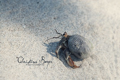 Mister Krabs (Christina Beyer) Tags: macro beach closeup strand sand crab krabbe