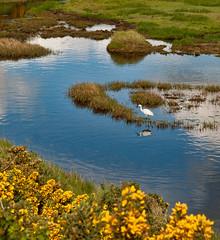 A Little Egret on a lagoon in Keyhaven Nature Reserve (Anguskirk) Tags: uk england bird water village eu lagoon hampshire naturereserve saltmarsh gorse littleegret keyhaven