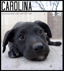 Carolina The 8 Week Old Black Lab Mix (Immature Animals) Tags: rescue dog baby black cute animal animals female puppy mutt mix lab labrador adorable center save marshall pima derek bark carolina pup care immature pound soulpatch koalition barktucson immatureanimals backpacc
