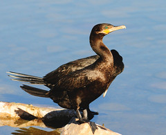 Neotropic Cormorants 2, 03.14.13 (VinCar927) Tags: arizona birds riparianranchatwaterpreserve