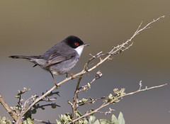 Sardinian Warbler - Explored #120 (Chris Bainbridge1) Tags: riaformosa sardinianwarbler praiadobarril