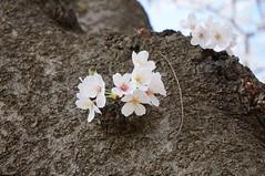 DSC02041 (macco) Tags: japan cherry blossom   sakura yokohama kanagawa   negishi