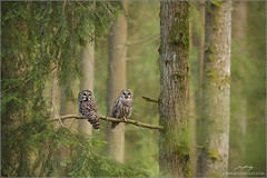 Barred Owl Pair (www.jessfindlay.com) Tags: b trees wild canada color colour green bird nature beauty birds animal animals vancouver forest canon outdoors photography moss eyes rainforest bc natural grove britishcolumbia wildlife pair birding feathers feather aves evergreen silence owl pacificnorthwest northamerica environment serene lichen colourful wilderness lush predator habitat picturesque westcoast birdwatching naturalworld animalia avian coniferous barredowl avifauna westernhemlock naturephotography animalsinthewild lowermainland colourphoto strixvaria birdphotography beautifulbritishcolumbia reflectinglight beautyinnature canon400mmf56 colourimage secondgrowth jessfindlay canon5dmiii jessfindlaycom wwwjessfindlaycom jessfindlayphotography