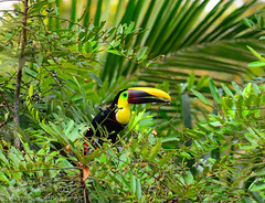Chestnut-mandibled Toucan (Ramphastos swainsonii) (asydabass) Tags: costarica tropicalbirds chestnutmandibledtoucan ramphastosswainsonii colorfulbirds nikon300mmf4afs talamancamountains rainforestbirds nikond7000 fincalaescondida