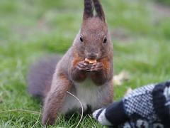 Windy end of March: Feeding the squirrel III (rubinjoni) Tags: squirrel olympus belgrade 70300mm beograd omd vulgaris kalemegdan sciurus veverica