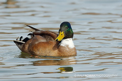 Domestic Mallard (Ralf Nowak) Tags: