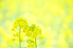 You and I (*Sakura*) Tags: flower macro green yellow japan tokyo spring lemon  mustard sakura  earlyspring rapeblossoms