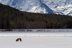 Grizzly Bears Playing on Snow (Free Roaming Photography) Tags: usa mountain snow playing mountains west animals standing season fur fun happy stand nationalpark spring child play wrestling wildlife bears mother western northamerica wyoming teton tetons moran mammals playful grandteton wrestle jacksonhole bearcub grandtetonnationalpark grizzlybears 610 signalmountain oxbowbend grizzlybearcub bear610 grizzlybear610