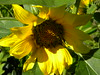 (lucidcats) Tags: flowers light shadow brown sunlight plant flower green beautiful leaves yellow vancouver washington leaf shadows state blossom bloom vancouverwa thebestyellow